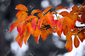 autumn leaves of an ornamental pear tree stock photo picture and
