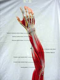 Anatomy And Physiology Human Body 25 Best Muscle Anatomy Ideas On Pinterest Human Muscle Anatomy