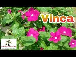 Vinca Flower Information - vinca plant सद बह र how to grow and care vinca plant