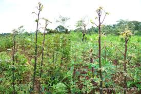 Symptoms Of Viral Diseases In Plants - cassava mosaic disease a curse to food security in sub saharan africa