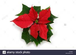 poinsettia cut out stock photos u0026 poinsettia cut out stock images