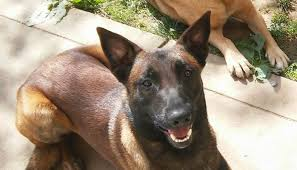 belgian sheepdog and cats should you get a belgian malinois as a family dog love and