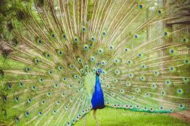 merak hijau gambar sayap margasatwa pola hijau paruh tropis alam