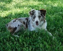 w lazy j australian shepherds dam mountain wrangler aussies australian shepherd puppies