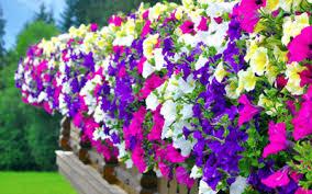 geranien balkon die 5 schönsten hängepflanzen für den balkon zuhause bei sam