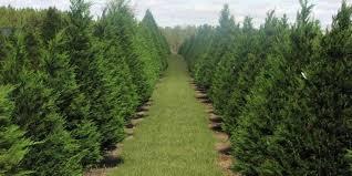 falcon ridge christmas tree farm growing memories that last a