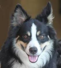 8 month australian shepherd charlie asrm 0130 a happy go lucky 9 month old black tri