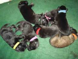 belgian sheepdog oregon belgian sheepdog puppies for sale
