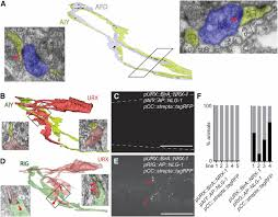 directional trans synaptic labeling of specific neuronal