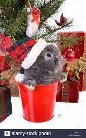 cute christmas grey mini lop baby bunny rabbit wearing hat under