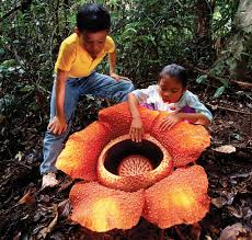 largest flower in the world the largest flower in the world is found in indonesia and it
