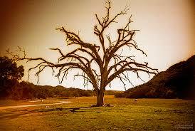 big dead oak poso california 2 david arnold photography