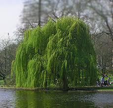 the weeping willow tree dengarden
