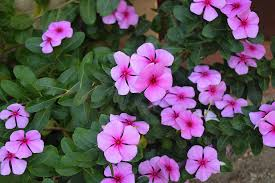 free photo pink flowers fall flowers garden free image on