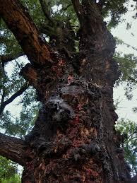 silver oak tree gum free stock photo public domain pictures