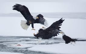 stellers sea eagle wallpapers fighting eagles wallpaper 704 2880x1800