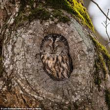 owl finds snug hideaway for nap in tree trunk in sweden daily