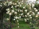 <b>Aglaia</b> rose bush File#D2462