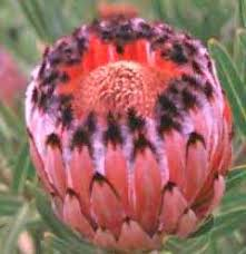 protea flower protea the flower expert flowers encyclopedia