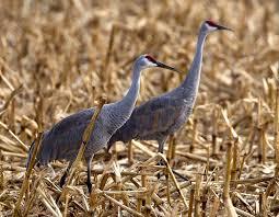 sandhill crane mdc discover nature