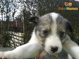 bearded collie x terrier bedlington whippet x border collie pups for sale alfreton
