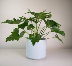 philodendron philodendron selloum in grey fredrik pot plant and pot nz