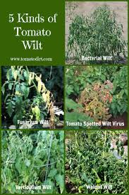 compare 5 kinds of tomato wilt identifying tomato plant diseases