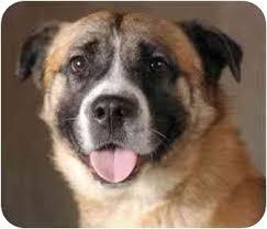 australian shepherd nose cosmo adopted dog chicago il akita australian shepherd mix