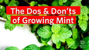 Easy Herbs To Grow Inside The Dos U0026 Don U0027ts Of Growing Mint Apartment Therapy