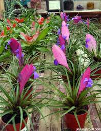 caring for bromeliads what you need to know to grow them indoors