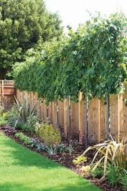 Privacy Backyard Ideas Privacy Fence Trees Ideas Backyard Choosing For Your Fencedeco