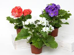 best indoor flowering plants in india