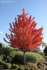 Maple Tree Symbolism by Best 25 Acer Rubrum Ideas On Pinterest Landscaping Trees Trees