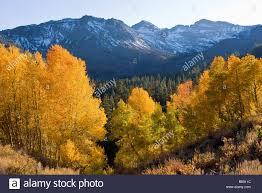 aspen trees populus tremuloides fall colors sonora pass