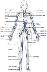 Human Anatomy Anterior Human Anatomy Diagram Some Important Veins Of The Body Veins Of