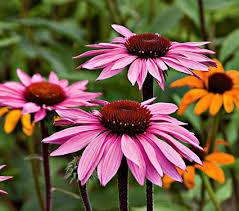echinacea flower echinacea purpurea merlot white flower farm