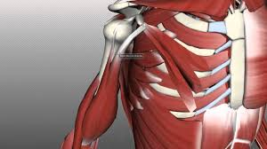 Anatomy Of The Right Arm Muscles Of The Upper Arm Anatomy Tutorial Youtube