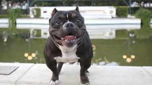 2 month old american pitbull terrier giant pit bull hulk u0027s 500 000 puppy litter
