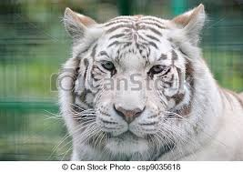 white tiger ears back pictures search photographs and