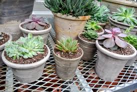 repotting succulents in my greenhouse the martha stewart blog