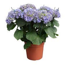 dalia in vaso ortensia vaso 24 floricoltura magnani di magnani gianpaolo