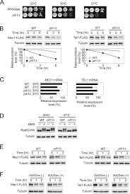 two separate pathways regulate protein stability of atm atr