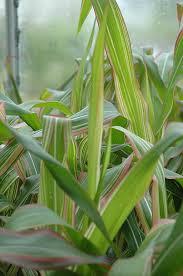 field of dreams ornamental corn zea mays field of dreams in