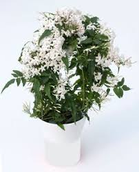 Fragrant Indoor House Plants - fragrant indoor plant stephanotis floribunda living room