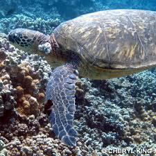 hawaii wildlife fund hawaiian sea turtles