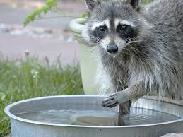help why is there a raccoon in my yard critter repellent blog