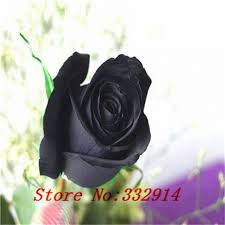 black roses for sale sale free shipping 100 black seeds with edge color