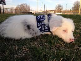 adopt a australian shepherd bran u2013 ar u2013 adopted u2013 deaf dogs rock