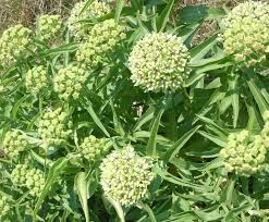 florida native butterfly plants got milkweed updated plant guide for central and south texas