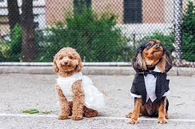 dog wedding dress these tiny dogs are getting married and everyone s invited